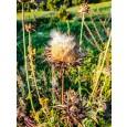 Pegasti badelj - Silbium marianum
