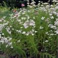 Rman - Achillea millefolium