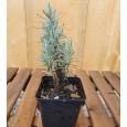 Smilj - Helichrysum italicum