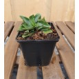 Tavžentroža - Centaurium erythraea