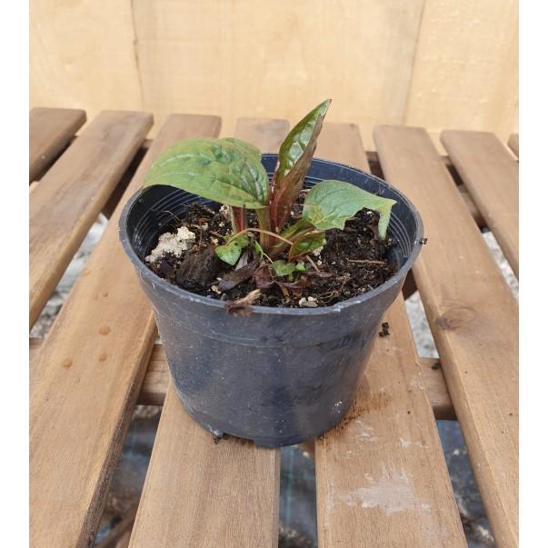 Ameriški slamnik - Echinacea purpurea