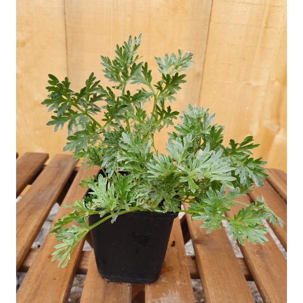 Navadni pelin - Artemisia absinthium