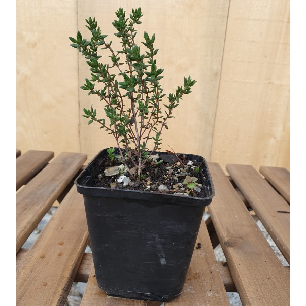 Vrtni timijan - Thymus vulgaris