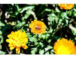 naravna-krema-zelisca-cvetka
