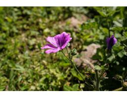 ognjic-arnika-zelisca-cvetka