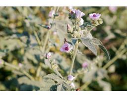 proti-klopom-zelisca-cvetka