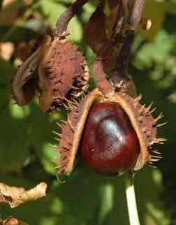 Divji kostanj (Aesculus hippocastanum)