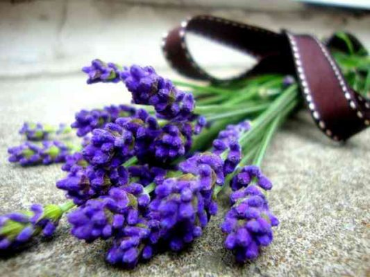 Sivka (Lavandula angustifolia)