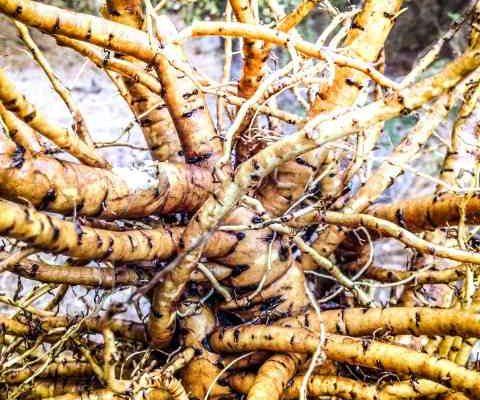 Slez ali ajbiš (Althea Off.) – korenina