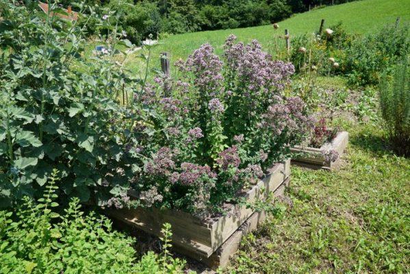 zasaditev-zelišč