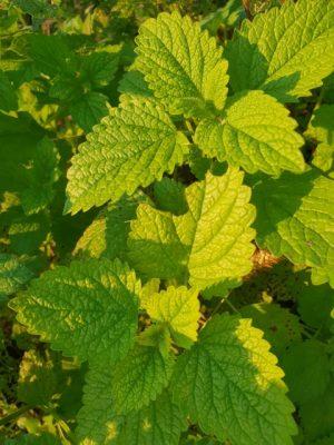Učinkovito in naravno proti celulitu - zelišča, ki dokazano pomagajo