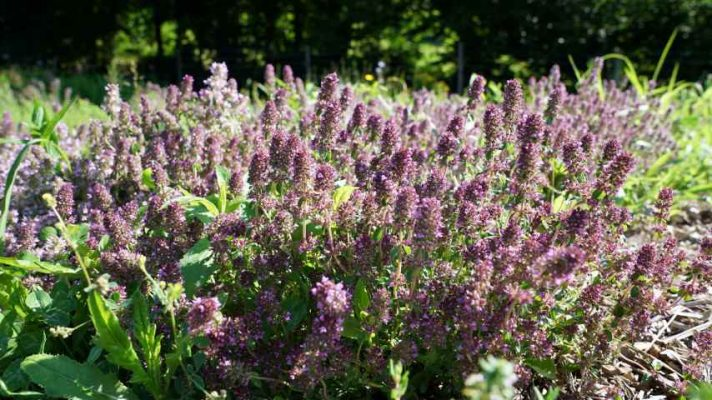 Zelišče, ki so ga proti kašlju uporabljale že naše babice, priporoča pa ga tudi sodobna farmacija